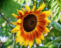 Big sunflower blooming in summer Royalty Free Stock Images