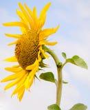 Big sunflower Stock Photography