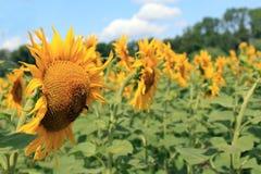 Big sunflower close up shot Stock Photography