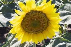 big sunflower close up Stock Photos