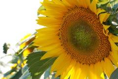 Big Sunflower closeup. Yellow Flower Stock Photo