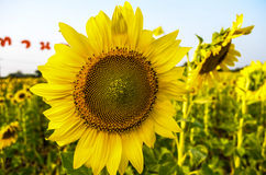 The Big Sunflower Royalty Free Stock Images