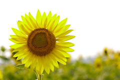A big sunflower in the field Royalty Free Stock Photography