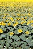Big sunflower field Royalty Free Stock Photos