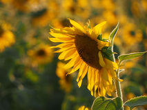 Big sunflower in the  field. Sunflower in the  field Royalty Free Stock Image