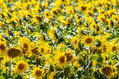 Big sunflower field Royalty Free Stock Photo