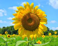 Big sunflower Stock Images