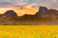 Big sunflower field with mountain royalty free stock image