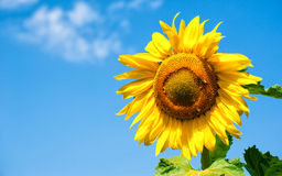 Big sunflower in the field, spring landscape Stock Photos