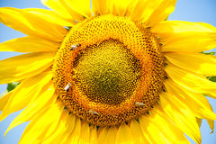 Big sunflower in the field, spring landscape Royalty Free Stock Images