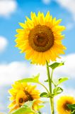 Big sunflower in the field, spring landscape Stock Photo