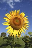 Big sunflower flower with bee Royalty Free Stock Photo