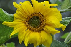 Big sunflower in the garden royalty free stock photos