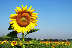 Big sunflower higher Stock Images