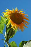 Big Sunflower II. Big yellow sunflower Stock Image