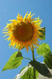 Big Sunflower III. Big yellow sunflower royalty free stock images