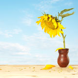 Big sunflower into pitcher on a wooden table Stock Image