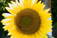 Big sunflower and small bee royalty free stock image