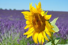 A big Sunflower with soft background of Lavender field stock photography