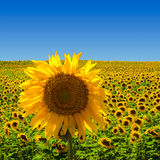 Big Sunflower on Sunflower Field. A big sunflower standing on a field of sunflowers, in the south of France stock photography
