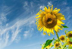The big sunflower. Sunflowers in the garden in the sunshine day Royalty Free Stock Images