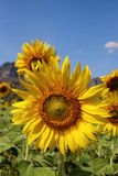 Big Sunflower Royalty Free Stock Photos