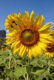 Big Sunflower Royalty Free Stock Photography