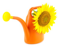 Big Sunflower in Watering Can / Isolated Stock Photos