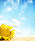 Big sunflower on wooden surface against blue Stock Photos