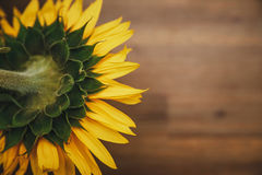 Big sunflower.Yellow and green colors.Macro.Nature.Wooden backgr. Ound Royalty Free Stock Photos