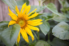 Big Sunflower. Big yellow sunflower among leaves stock image