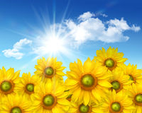 Big sunflowers against a  blue sky Royalty Free Stock Image