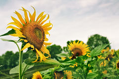 Big sunflowers in a dirt road on a cloudy day Stock Photo