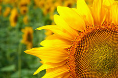 Big sunflowers flower at the field Royalty Free Stock Photos