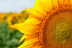Big sunflowers flower at the field in summer Stock Image