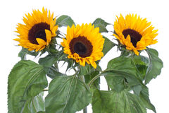 Big sunflowers, isolated on white Royalty Free Stock Images