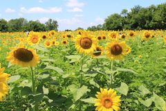 Big sunflowers in a sunflower field. A big sunflower field in Maryland Stock Images