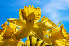 Big Sunny Yellow Daffodils Pointed to the Sky Like Trumpets. Close-up of a bunch of bright yellow daffodils back-lit against a background of blue sky and some stock photography