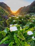 Big Sur calla lilies Royalty Free Stock Image