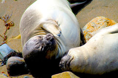 Big Sur Elephant Seals Stock Photography
