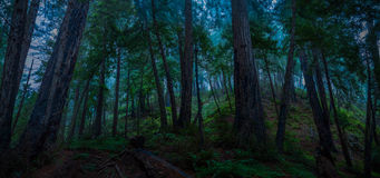 Big Sur Redwood Forest Panorama. Morning Big Sur Redwood Forest Panorama stock photos