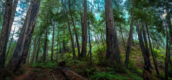 Big Sur Redwood Forest Royalty Free Stock Photography