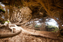 Big Sur Tree. Tree roots and trunk in Big Sur California Stock Photo
