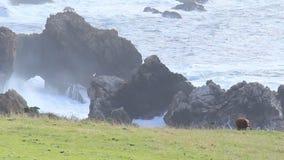 Big Sur 11 vacas en la costa
