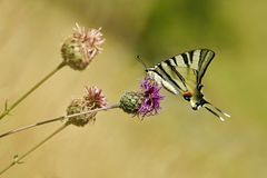 Big swallowtail butterfly, Iphiclides podalirius, sitting on a thistle stock photo