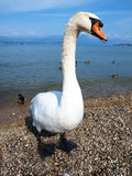 Big swan Royalty Free Stock Photography