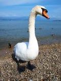 Big swan Royalty Free Stock Photography