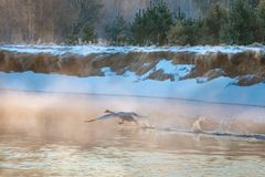 Big swan running on water surface at daybreak royalty free stock image