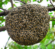 Big swarm bee on tree Royalty Free Stock Photos