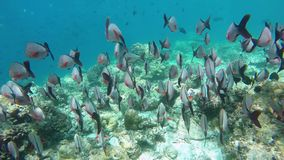 A big swarm fishes swimming in the coral reef stock video
